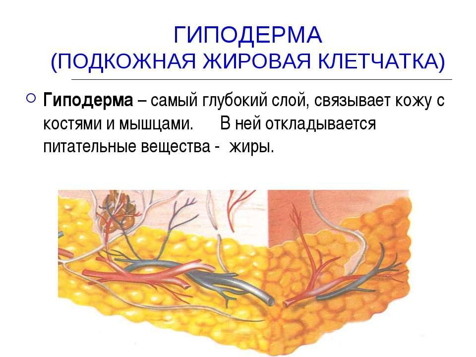 Изображение гиподермы